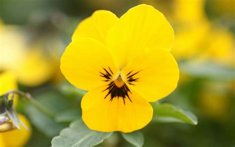 Wallpapers Pansy Flowers Wallpapers HD Wallpapers Download Free Images Wallpaper [1000image.com]