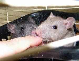 Wie Vertreibt Man Ratten : rattenhaltung auslauf ratten z hmen vergesellschaften ~ Eleganceandgraceweddings.com Haus und Dekorationen