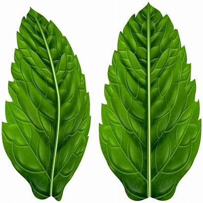 Leaves Clip Clipart Acelga Hoja Leaf Transparent