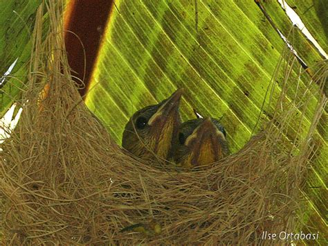 hooded oriole nest flickr photo sharing