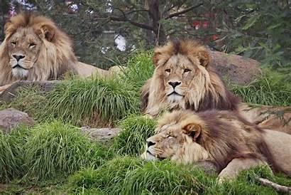 Lion Kingdom Animal Fanpop Lions Animals Wallpapers