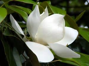 Louisiana State Flower