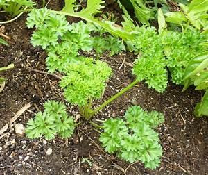 Growing Parsley (curly leaf parsley or flat leaf (Italian ...