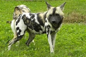 african wild dog wolf mix | African Wild Dog Images - Dog ...