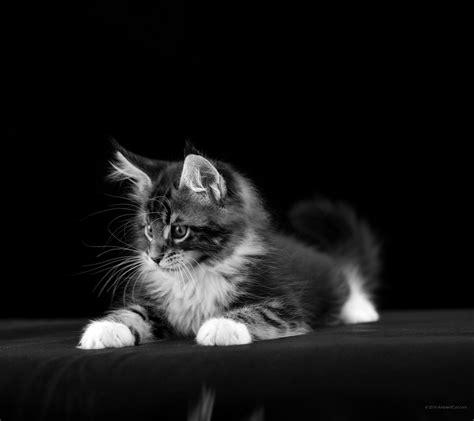 2160 x 1920 Svart og hvit: bakgrunn i skrivebordet - Katter