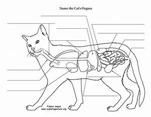 Cat Anatomy  Thoracic And Abdominal Organs