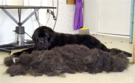 excessive hair shedding in dogs image from elsa palsen