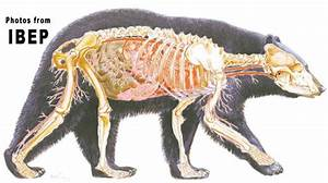 Bear Anatomy And Physiology