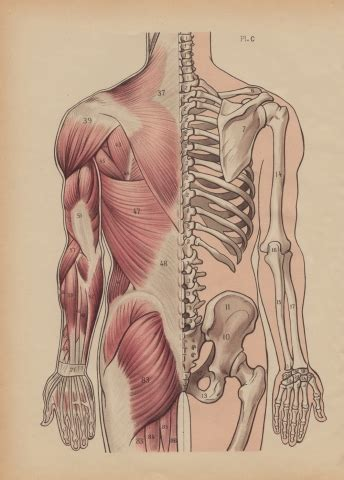 Without bones, muscles, and joints, we couldn't stand, walk, run, or even sit. Dorsal Muscles and Bones Illustration   whereapy