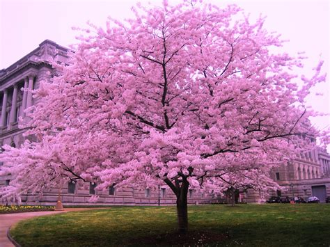 cherry blossom plants cherry blossom tree in dc cherry blossom trees pinterest blossom trees cherry blossoms