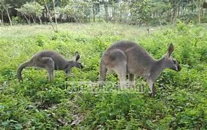 First Kangaroo Born At Bangabandhu Safari Park