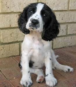 Border Collie Springer Spaniel Mix Puppy | Cute Puppies ...