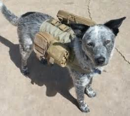 50 best blue heeler therapy dogs images on pinterest