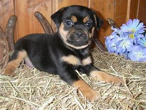 The 25+ best ideas about Rottweiler Lab Mixes on Pinterest ...