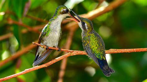 hummingbird life cycle