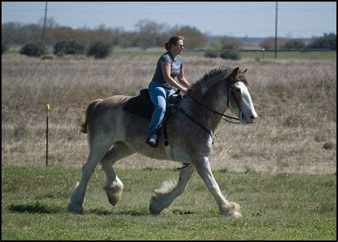 draft riding horses flickr