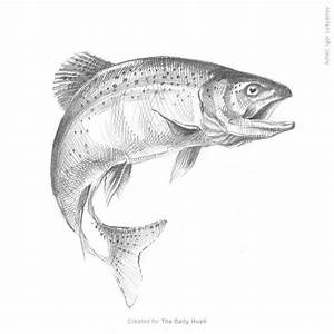 fish-trout-sketch | Drawings | Pinterest