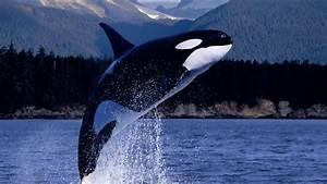La Orca La Ballena Asesina Yo Depredador Documental