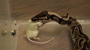 Ball Python Eating Live Mouse Killing Feeder Rat