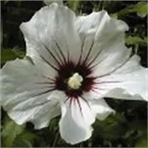 Gartenhibiskus Vermehren Stecklinge : hibiskus gartenhibiskus strauch eibisch schneiden ~ Lizthompson.info Haus und Dekorationen