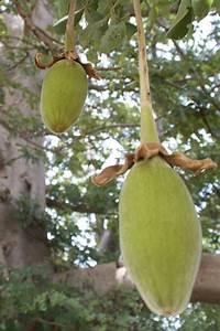 Arbre A Fruit : description utilisation du baobab bio baobab bio poudre pulpe fruit ~ Melissatoandfro.com Idées de Décoration