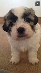 Shichon  Teddy Bear  Puppies For Sale