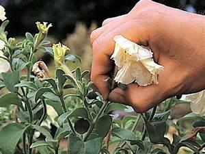 Corta las flores marchitas de tus plantas