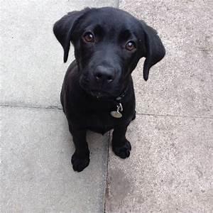 Black Labrador Puppy 13 weeks | Winsford, Cheshire ...