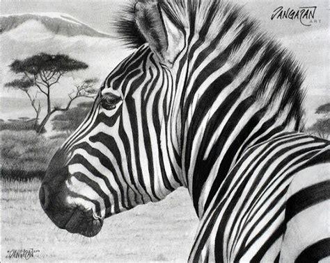 zebra  drawing drawings pinterest zebras