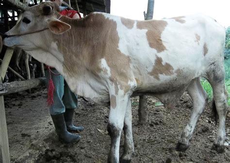 sapi qurban  timbang hidup sehat murah  sapi