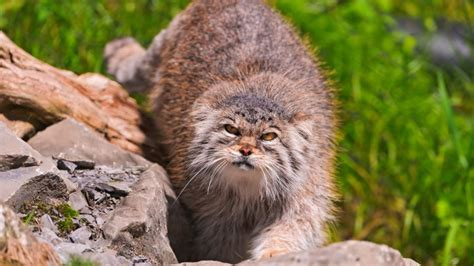 Wallpaper Pallas cat wild cat walk green grass stones