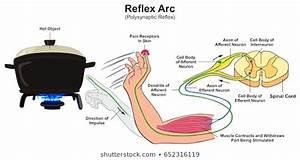 Spinal Reflex Arc Images  Stock Photos  U0026 Vectors