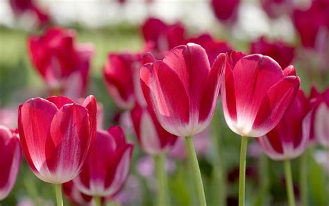 tulips images tulips hd wallpaper hd wallpapers tulip hd wallpapers