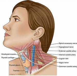 Neck Cancer Anatomy  Headandneckcancerguide Org