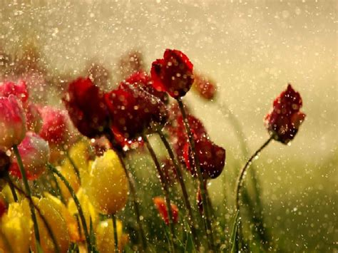 flower  tulips  rain