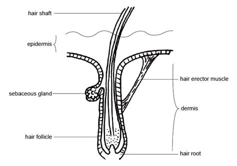 anatomy and physiology of animals the skin wikibooks