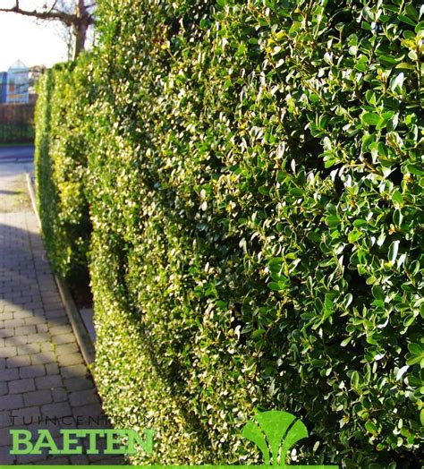 Ilex Green by Ilex Crenata Green Hedge Tuincentrum Baeten