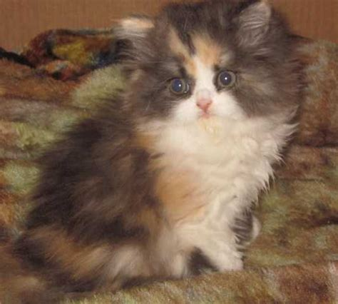 Persian Calico Kitten Ready Xmas Delivery Available For Sale Adoption From Bellingham Washington