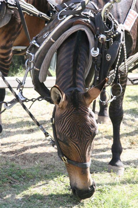 horses crossing zorse harness rare animals yahoo