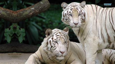 wallpaper harimau putih gambar  wallpaper
