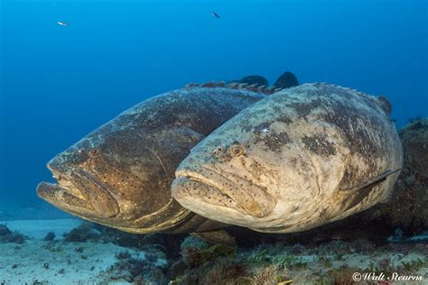 goliath grouper species epinephelus itajara fish atlantic did know there command attention than