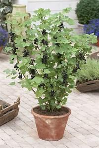 Schwarze Johannisbeere Pflanzen : schwarze johannisbeere richtig schneiden pflanzen tipps ~ Lizthompson.info Haus und Dekorationen