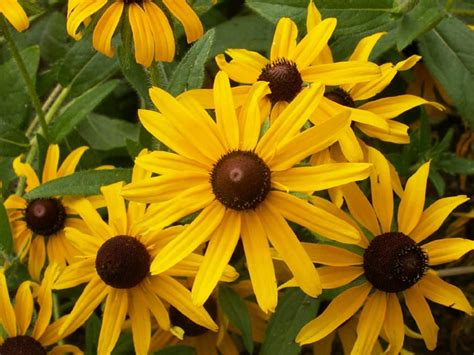 rudbeckia hirta black eyed susan world  flowering plants