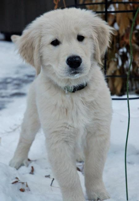 english cream golden retrievers images