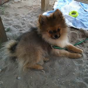 Pomeranian Dog Puppies