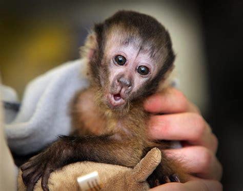 capuchin monkey pet baby animals photos baby animals ny daily news