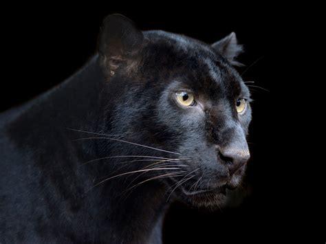Black Panther Symbolism