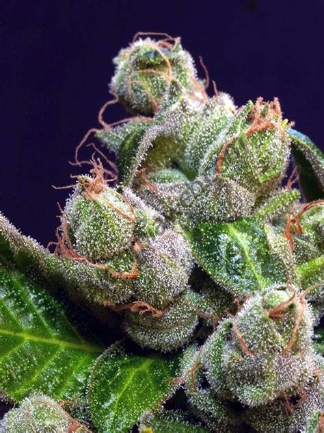 secret parts  cannabis  didnt