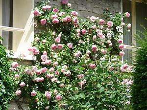 Kletterrose New Dawn : tips for growing climbing roses arbor hill trees omaha ~ Michelbontemps.com Haus und Dekorationen