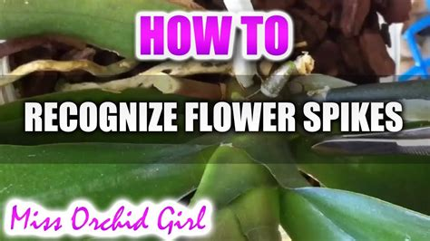 Difference Between Flower Spikes And Roots  Phalaenopsis Orchids Youtube